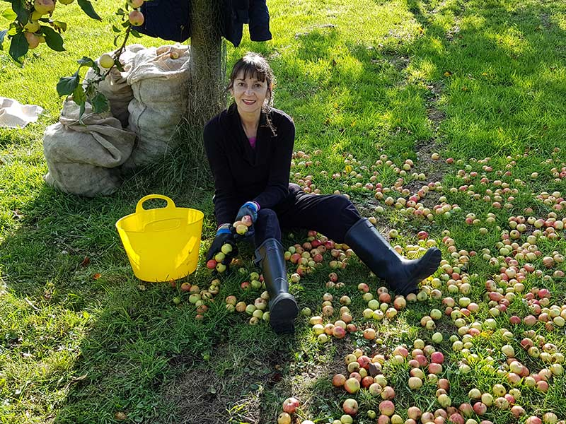 Apples at harvest time at Rosies Cider