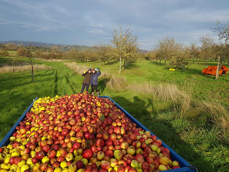 Apples at harvest time at Rosie's Cider